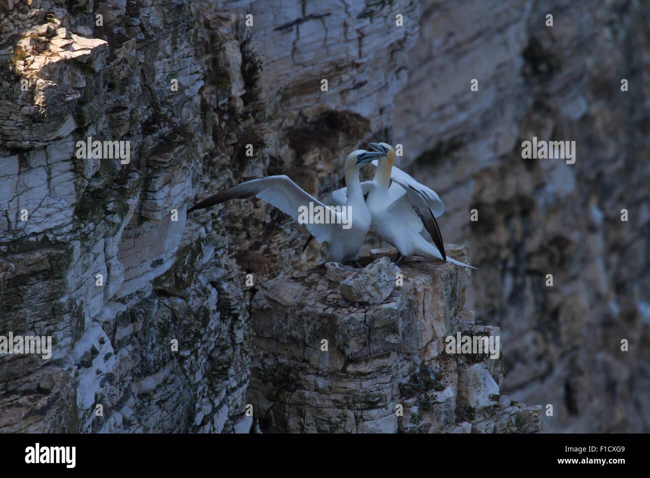 Gannet Beak Crossing Greeting Ritual Stock Photo 86950761 Alamy