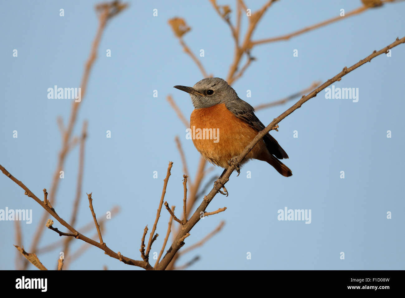 Short-toed rock-thrush, Monticola brevipes,  single bird on branch, South Africa, August 2015 - Stock Image