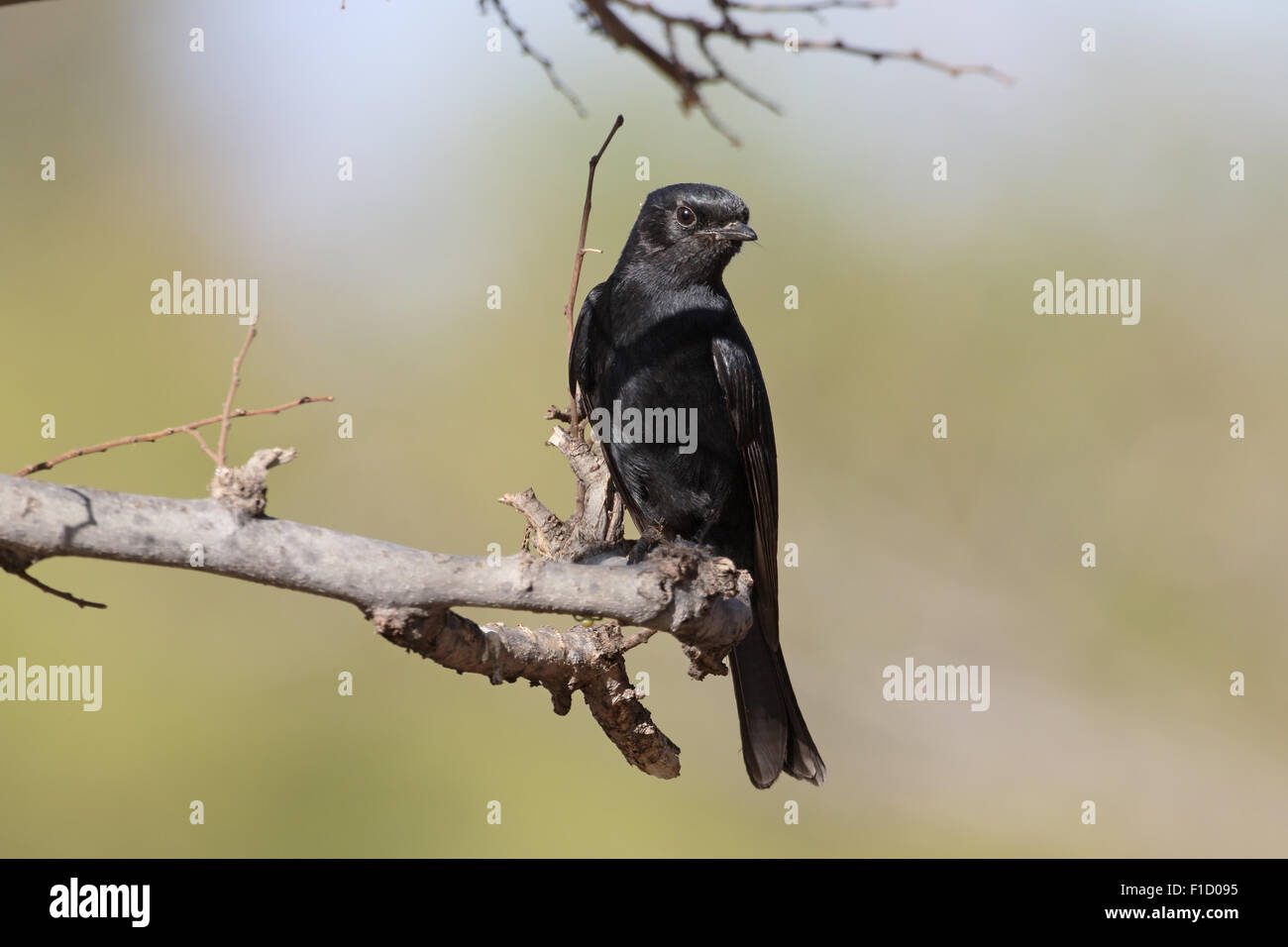 Southern black-flycatcher, Melaenornis pammelaina, single bird on branch, South Africa, August 2015 - Stock Image