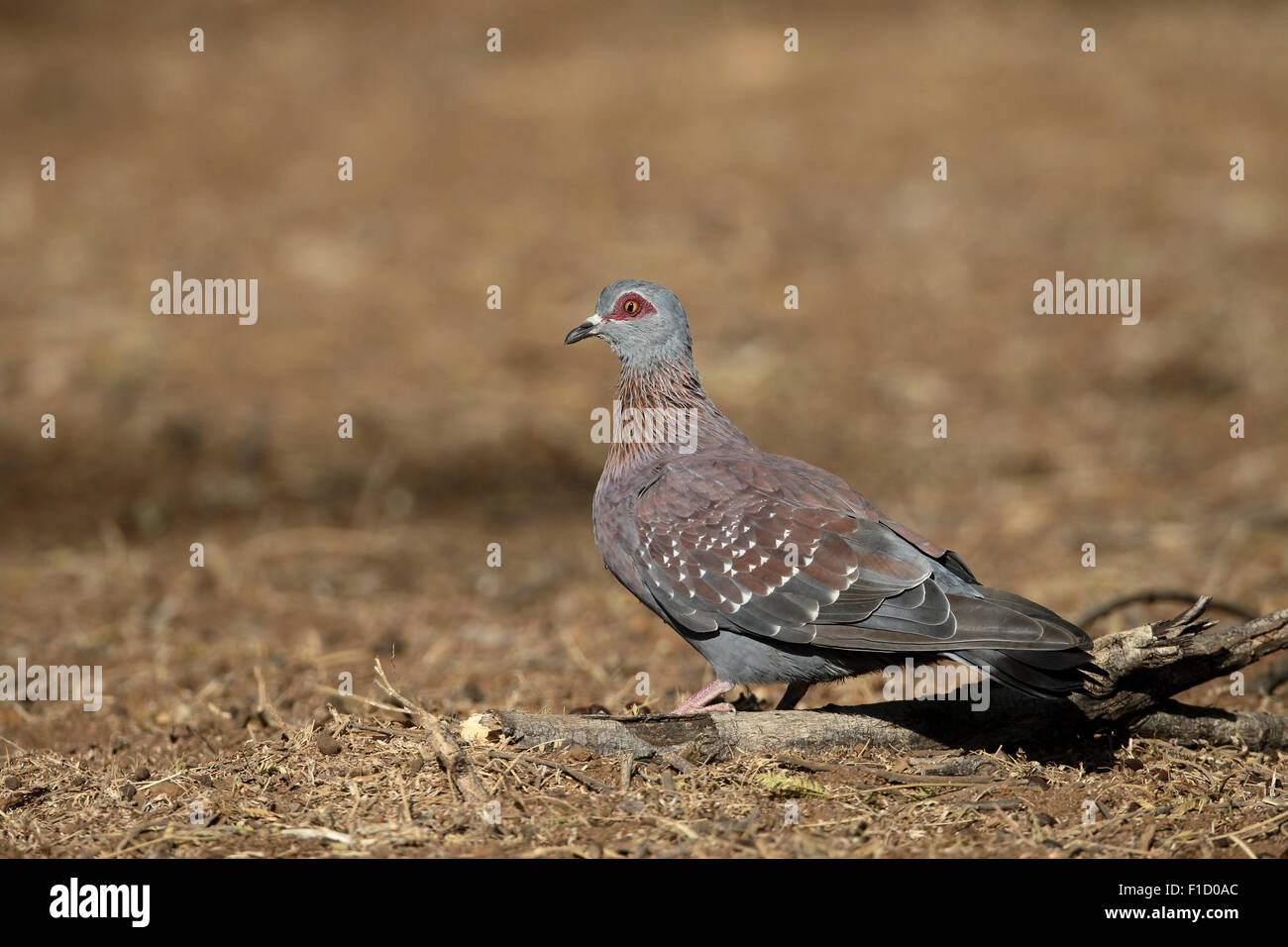 Spectacled pigeon, Columba guinea, single bird on ground, South Africa, August 2015 - Stock Image