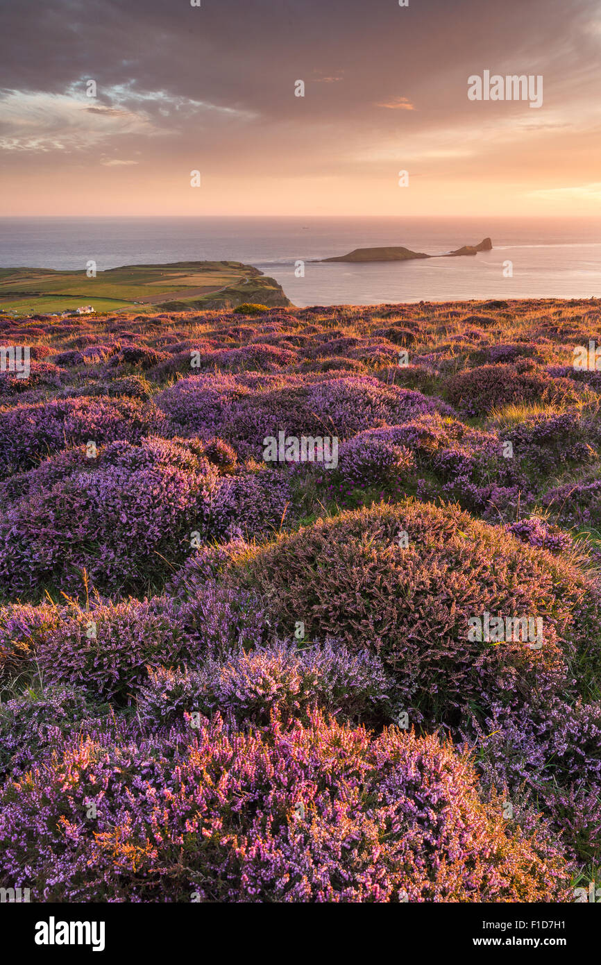 Sunset and Heather at Rhossili Bay overlooking Worm's Head in the Gower, South Wales. UK - Stock Image