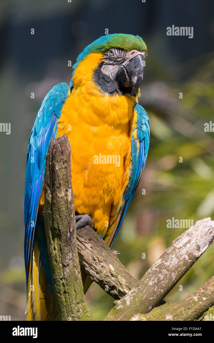 Blue and yellow macaw perched on a branch Stock Photo
