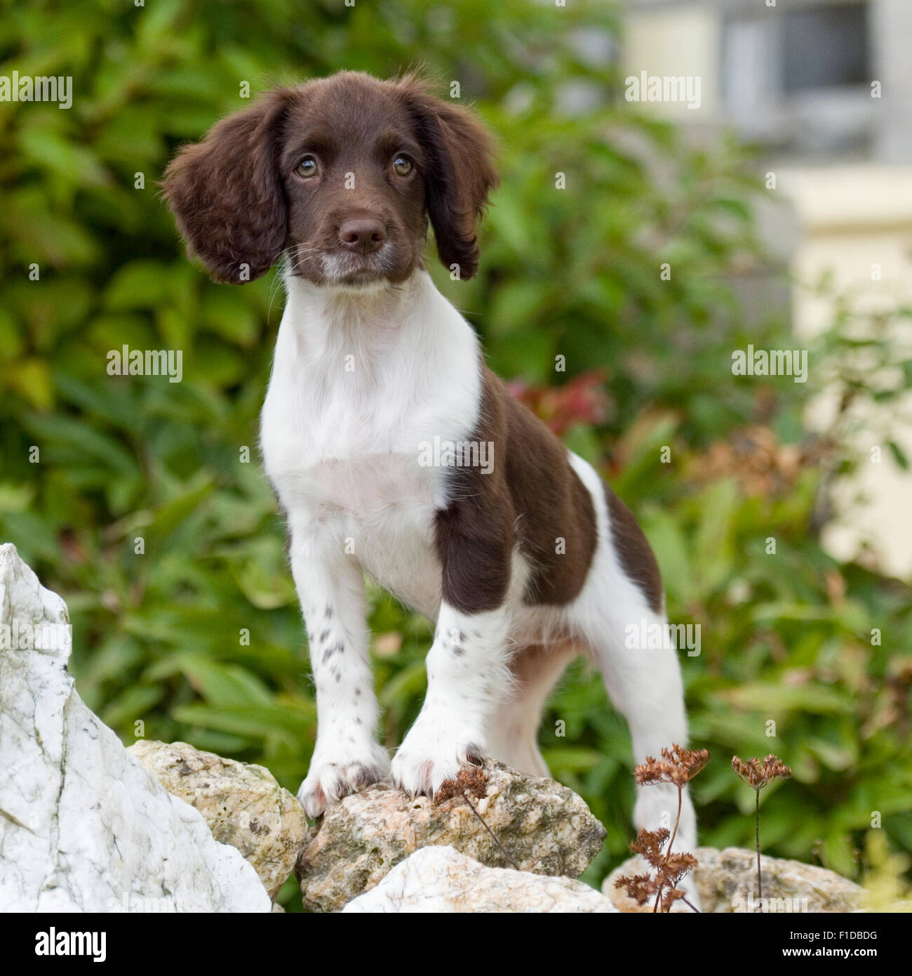 english springer spaniel puppy stock photo 86960876 alamy