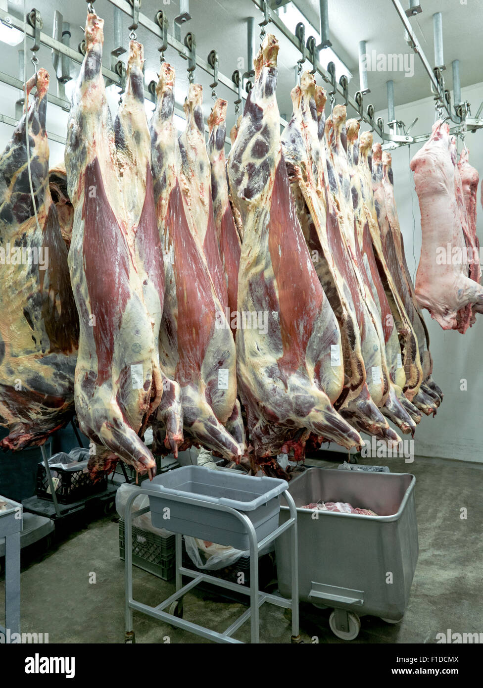 Aging beef & pork carcasses hanging in cooler. - Stock Image