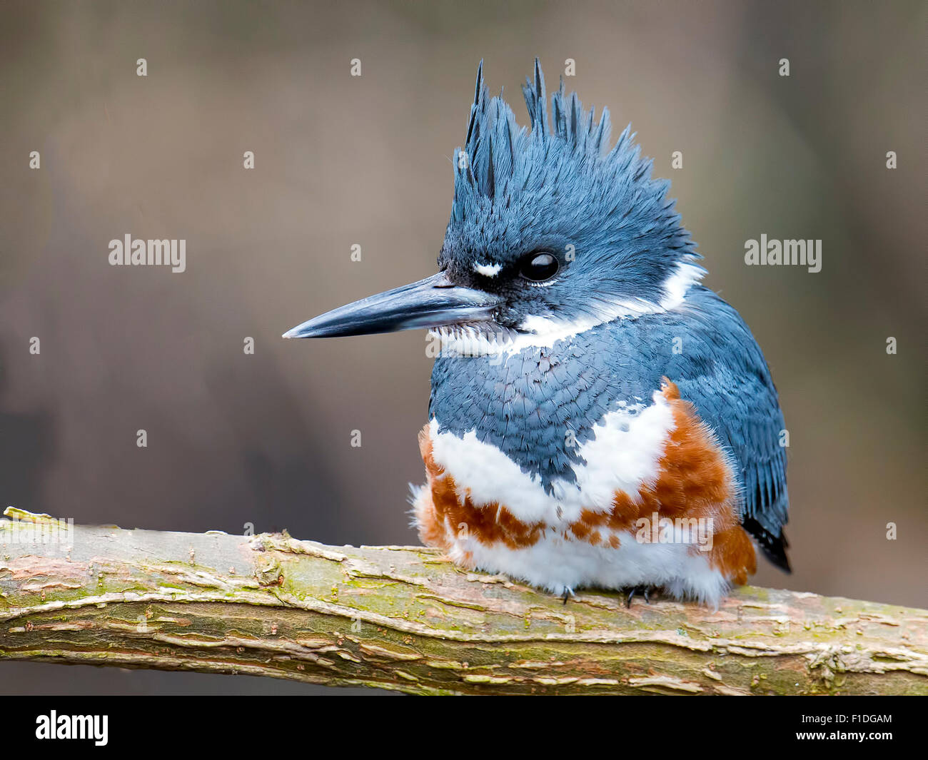 Female Belted Kingfisher resting on branch. - Stock Image