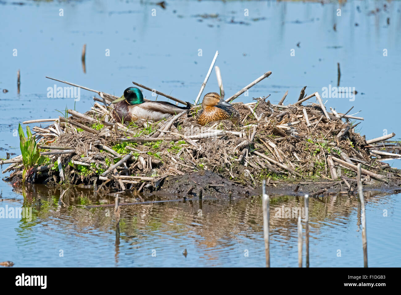 A Male and Female Mallard in their nest Stock Photo