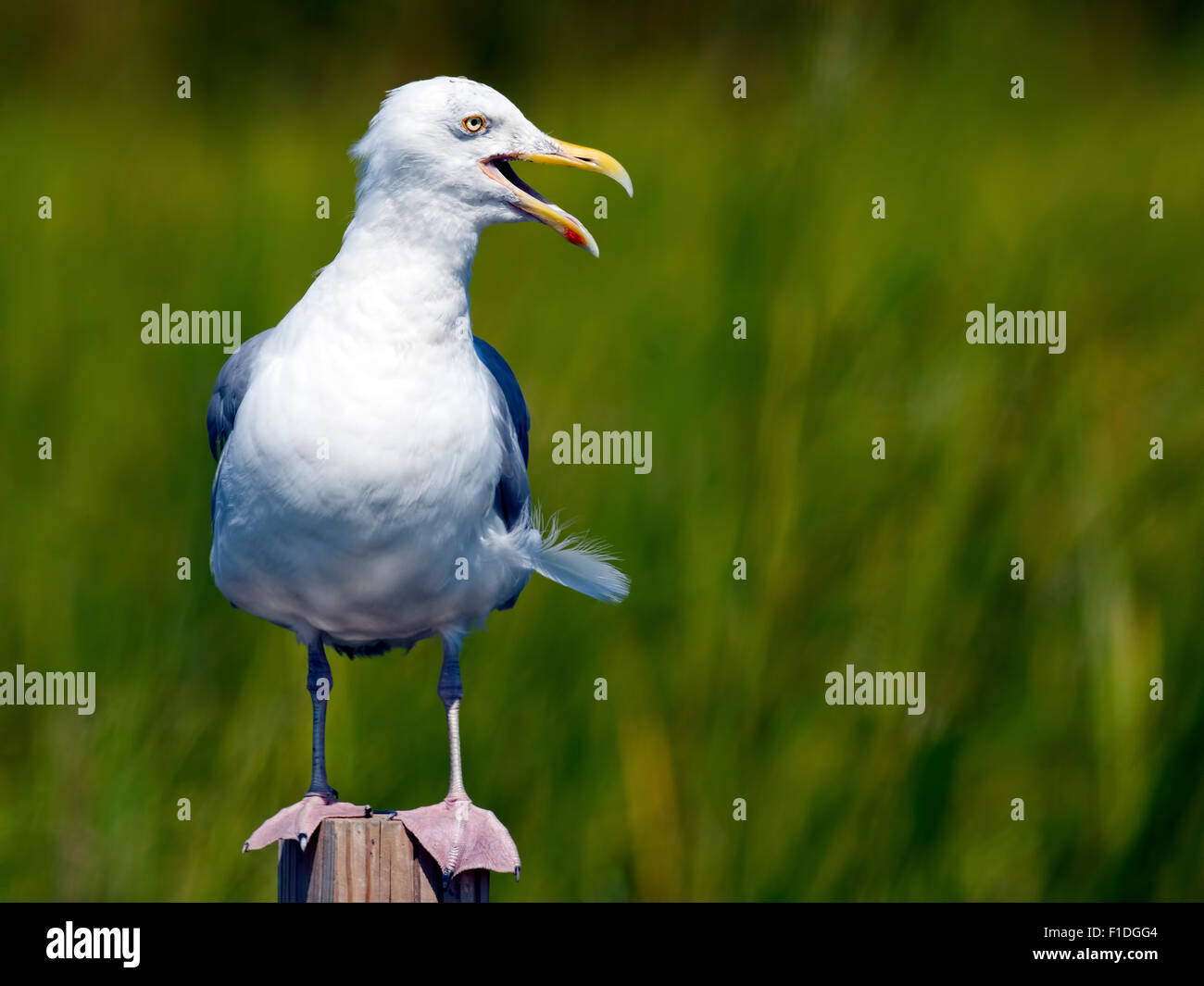 Herring Gull - Stock Image