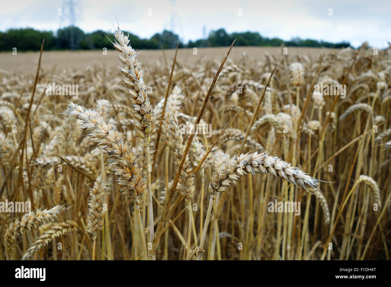 Wheat ripening in damp conditions in Britain Uk - Stock Image