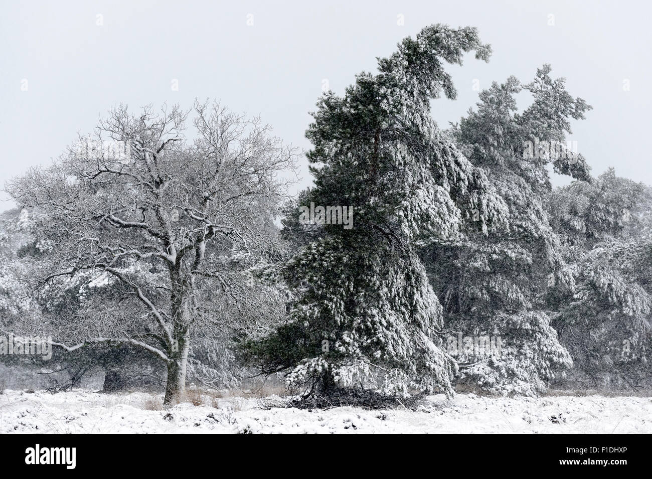 Landscape with oak and pines during the snow storm on December 27th, 2014 in the Veluwe, Netherlands. - Stock Image