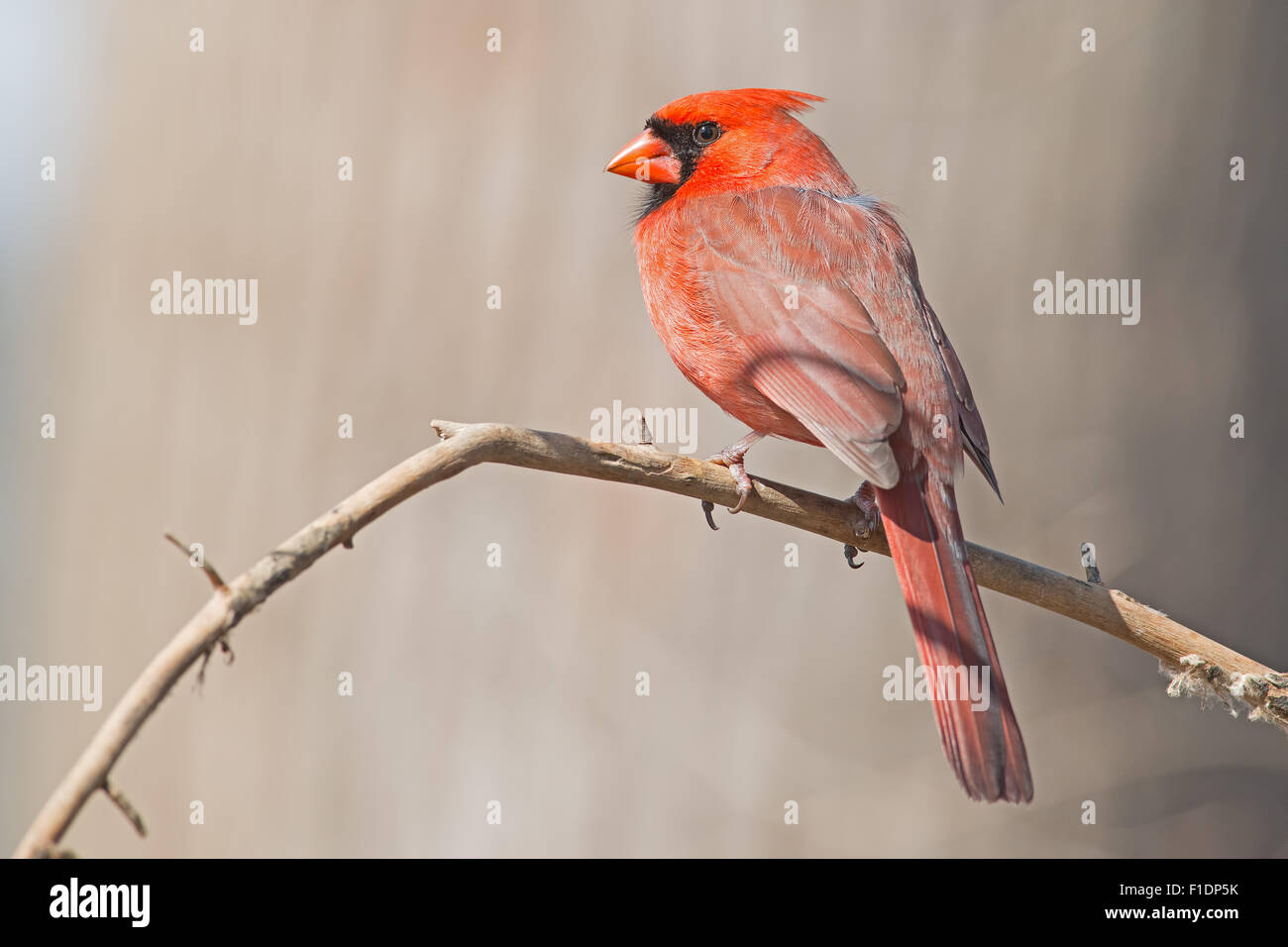Male Northern Cardinal sitting on a Branch - Stock Image