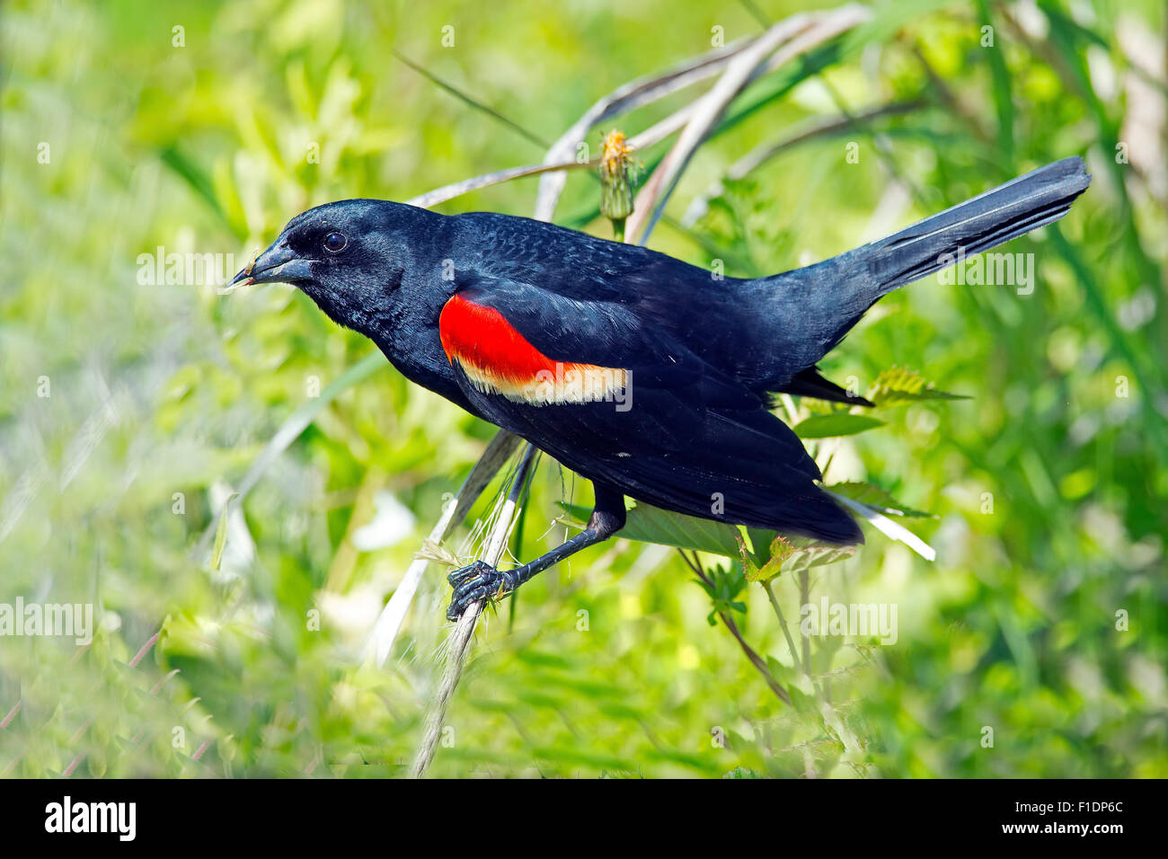 Male Red-winged Blackbird on a branch - Stock Image