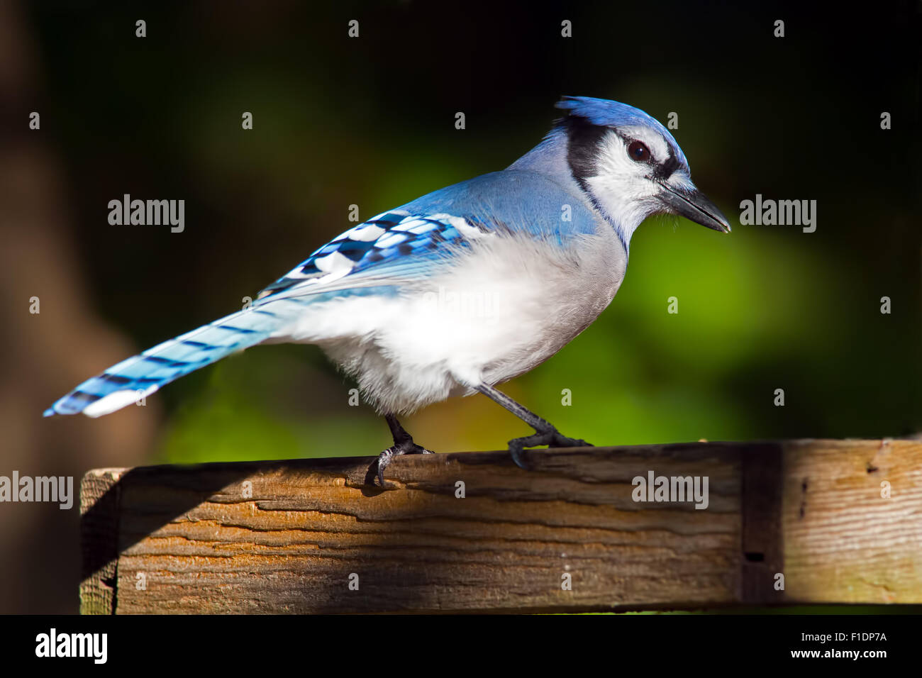 Blue Jay on Platform Feeder - Stock Image