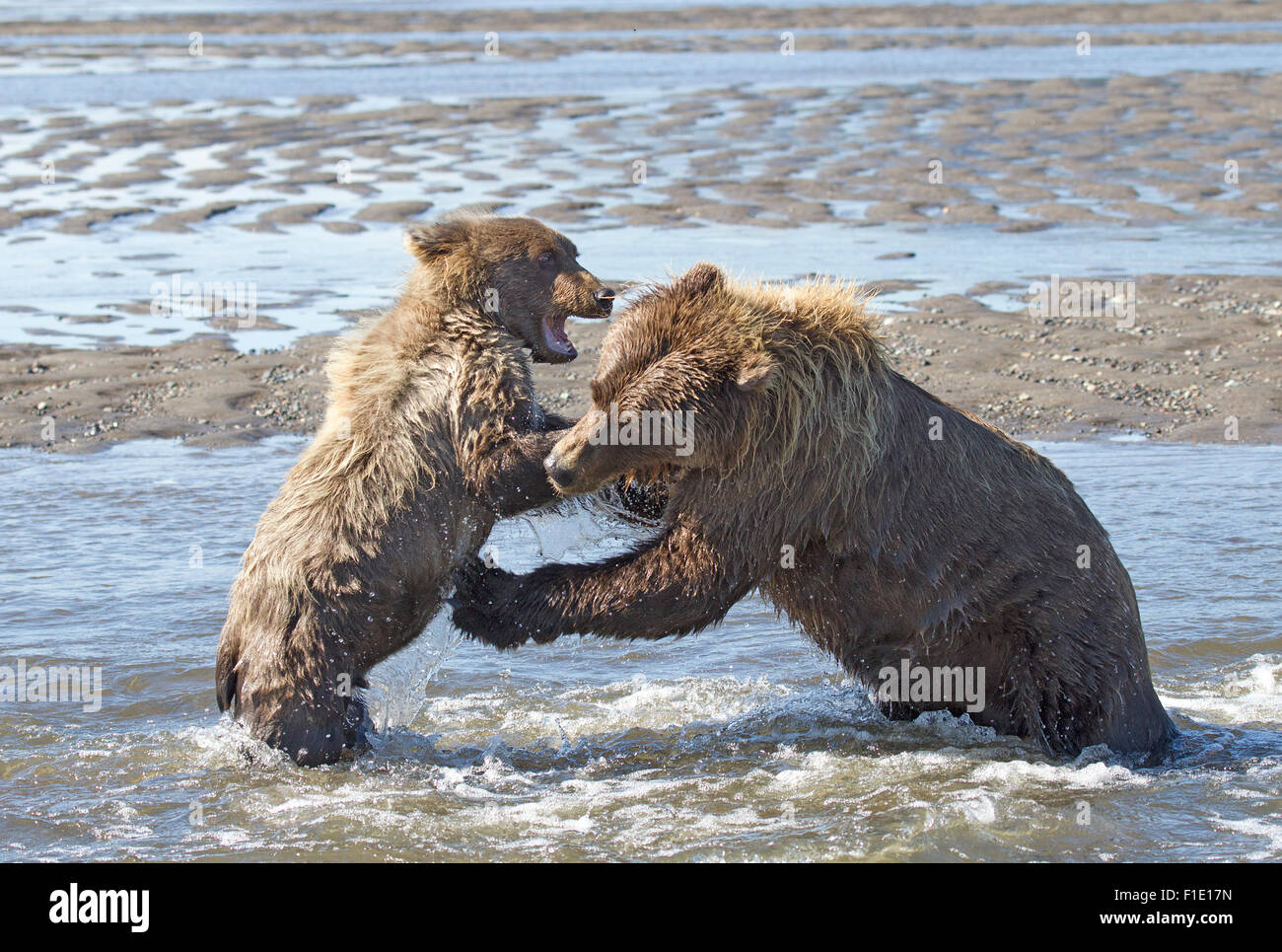 Second Year Grizzly Cub Sparring with Sow - Stock Image