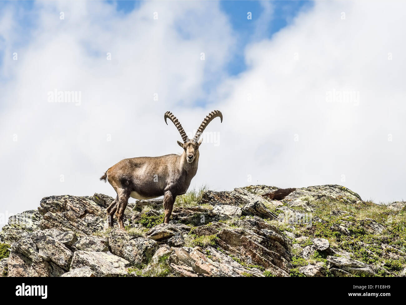 Single Alpine Ibex, Swiss Alps, Switzerland   Einzelner Alpen-Steinbock, Pontresina, Graubuenden, Schweiz - Stock Image