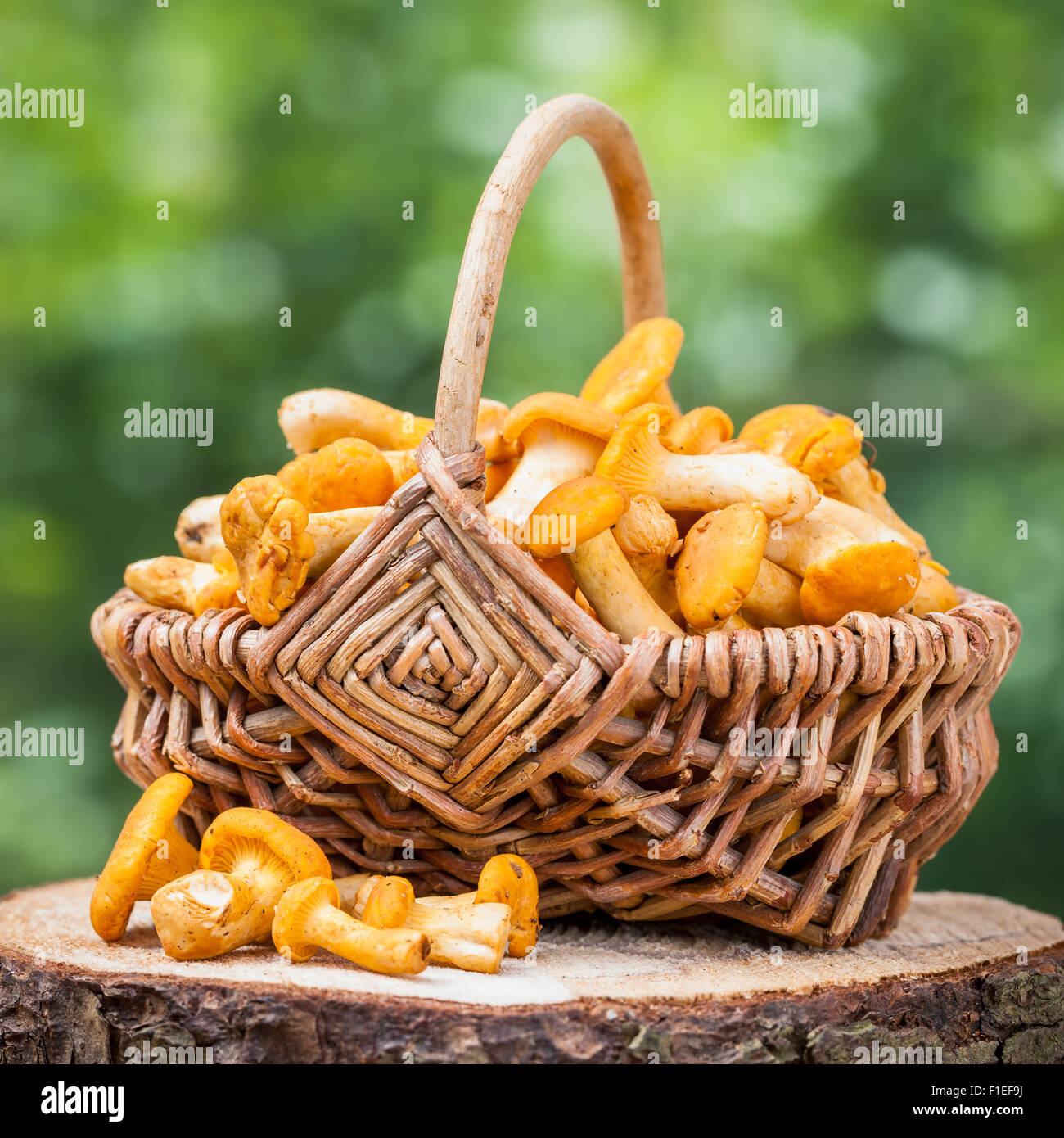Chanterelles in wicker basket on wooden stump in forest - Stock Image