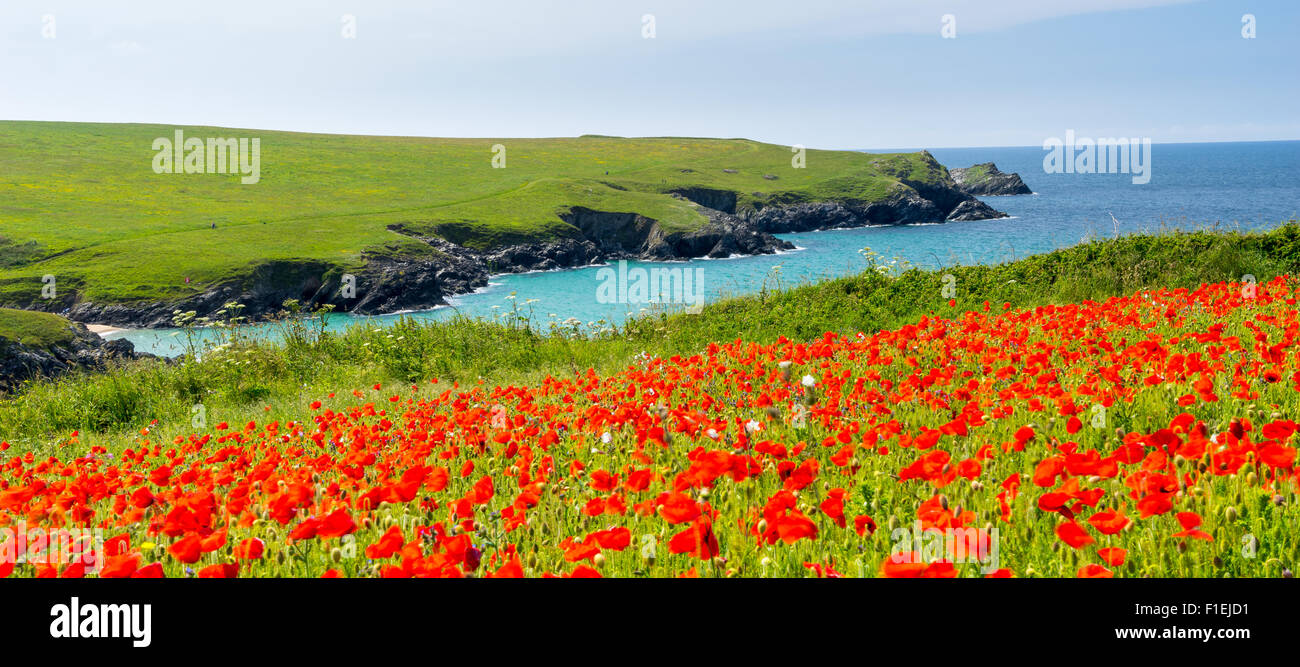 Field of Poppies and wild flowers above Porth Joke beach near Newquay Cornwall England UK Europe - Stock Image