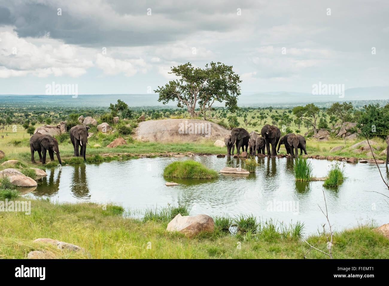 Elephants at watering hole, Serengeti Tanzania - Stock Image