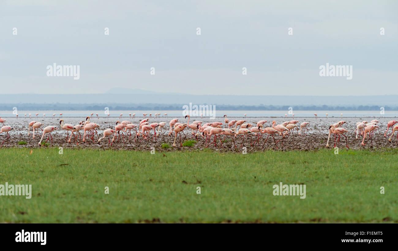 Flamingos Lake Manyara Tanzania - Stock Image