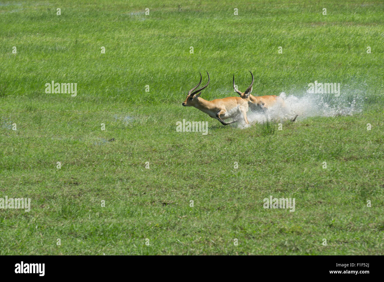 Red lechwe chase - Stock Image