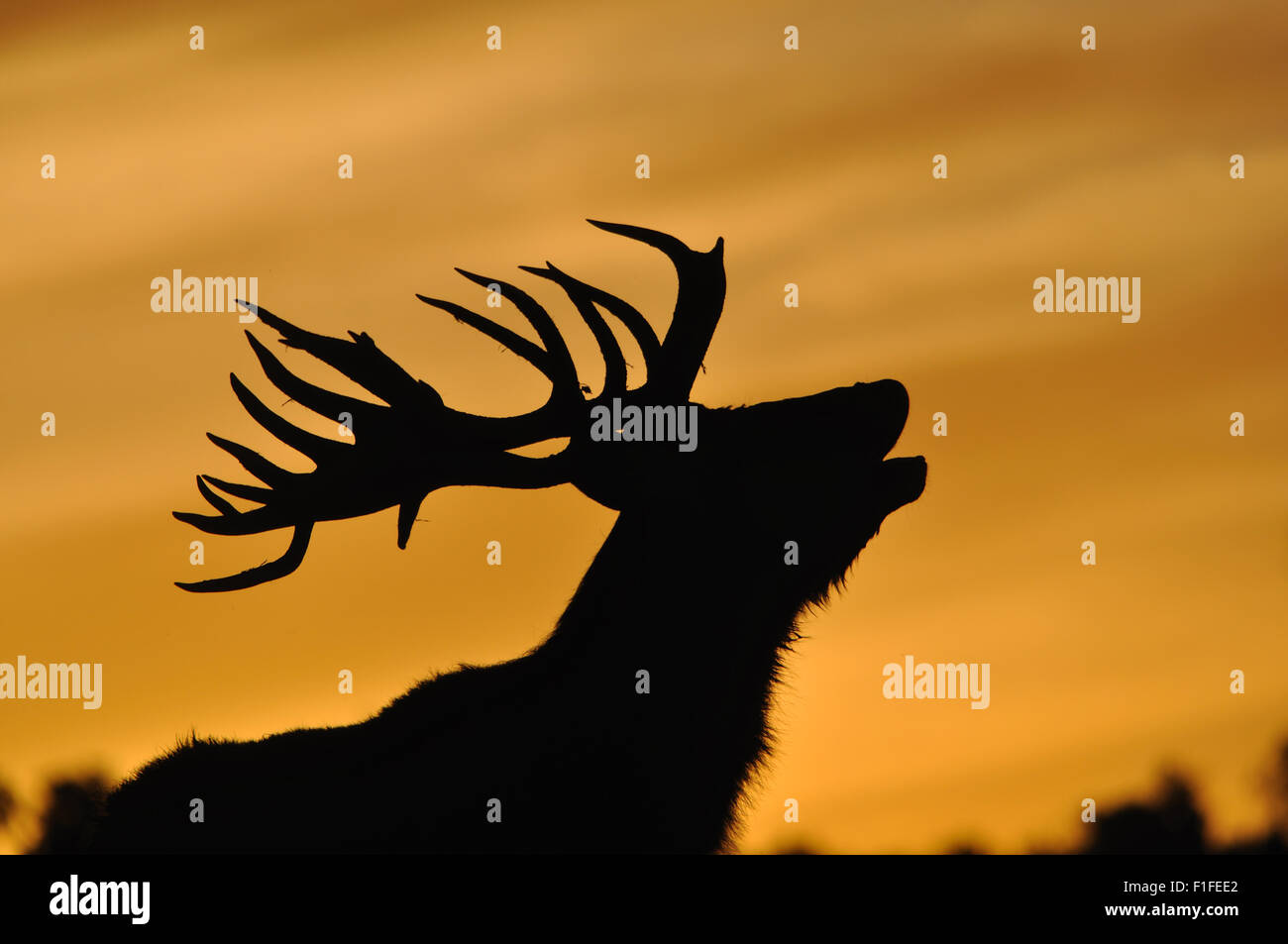 red deer stag, Cervus elephus, roaring at sunset in Westland, New Zealand - Stock Image