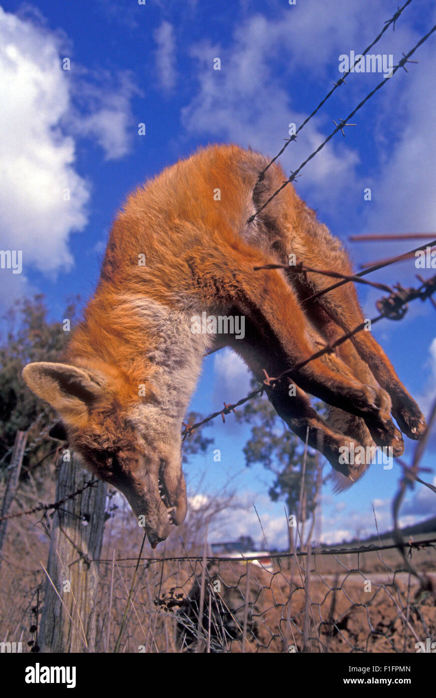 Dead fox hung over a barbed wire fence, rural New South Wales, Australia. - Stock Image