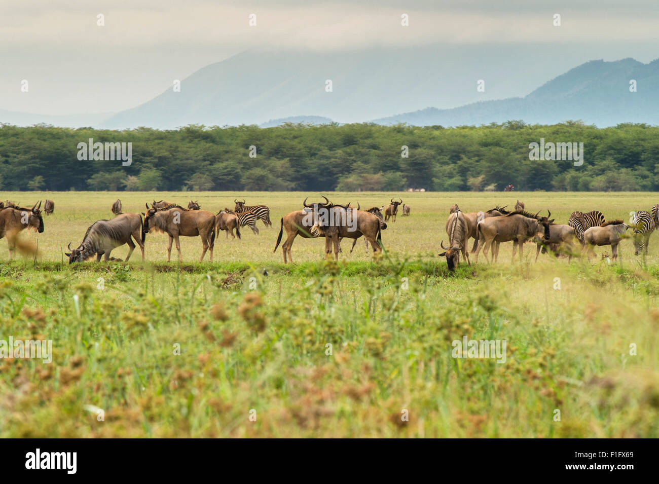 Lake Manyara safari Tanzania Wildebeast and Zebra graze - Stock Image