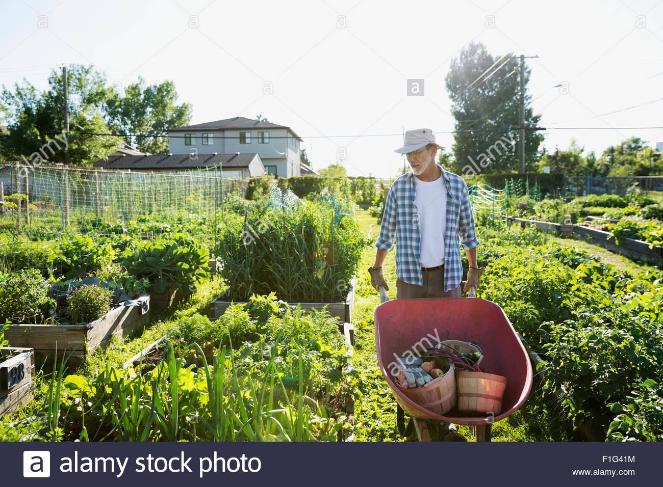 Senior man with wheelbarrow in sunny vegetable garden - Stock Image