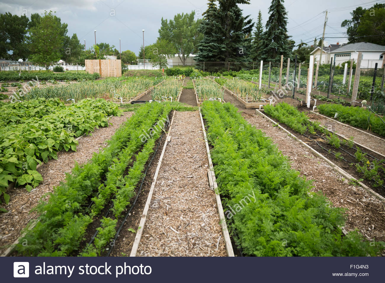 Rows of plants in community garden - Stock Image