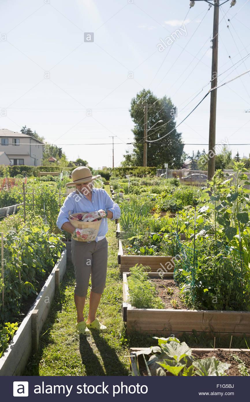 Senior woman harvesting in sunny vegetable garden - Stock Image