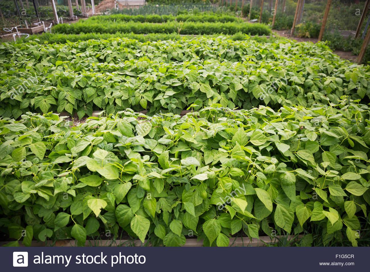 Plants growing in rows in garden - Stock Image