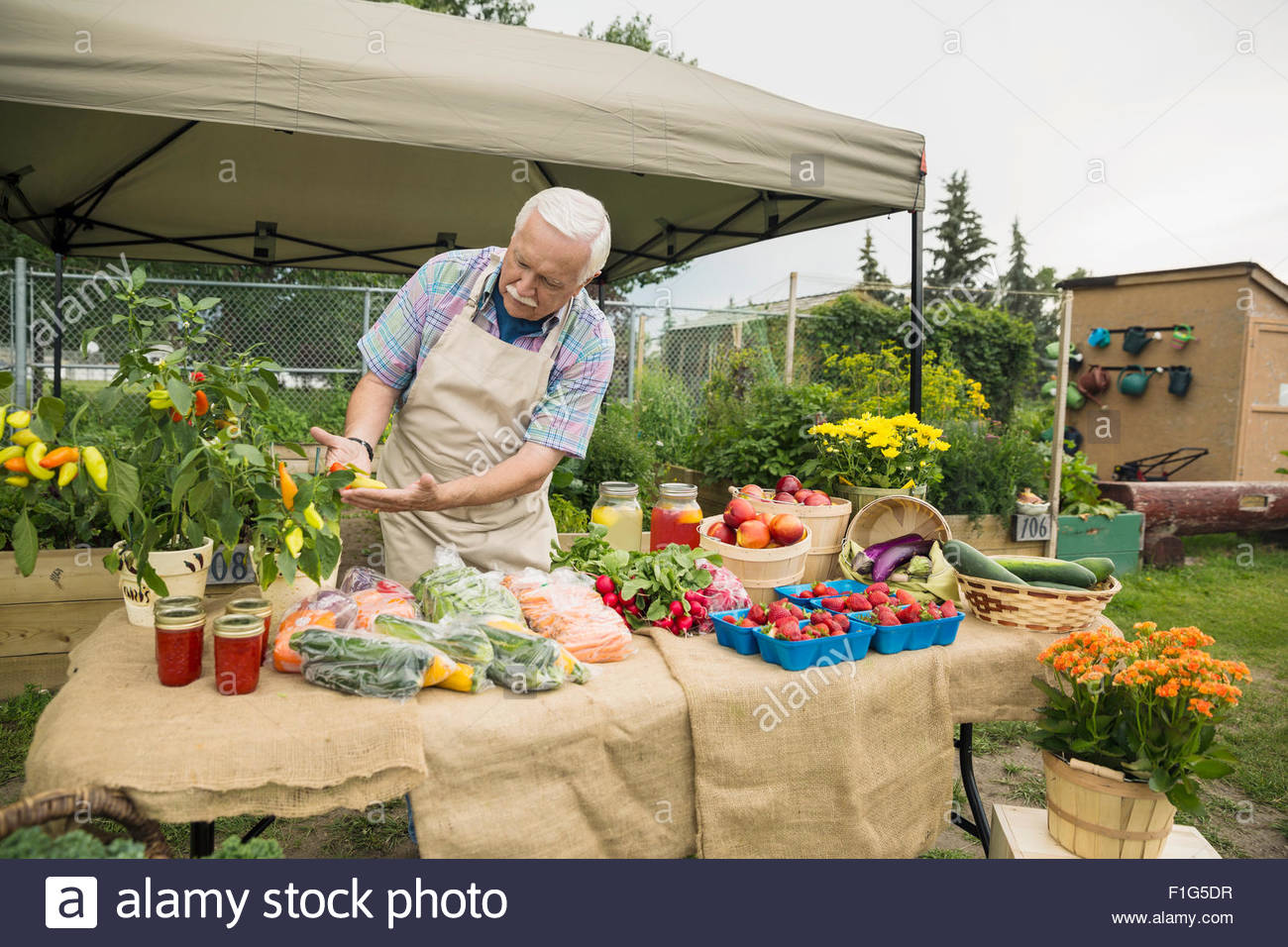 Senior farmer checking produce farmers market stall - Stock Image