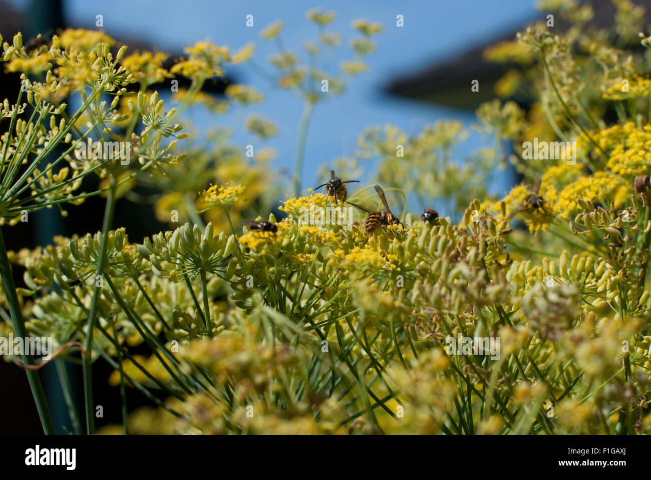 Wespes sitzen auf Fenchelblüten, whasps sitting on fennel blossoms - Stock Image