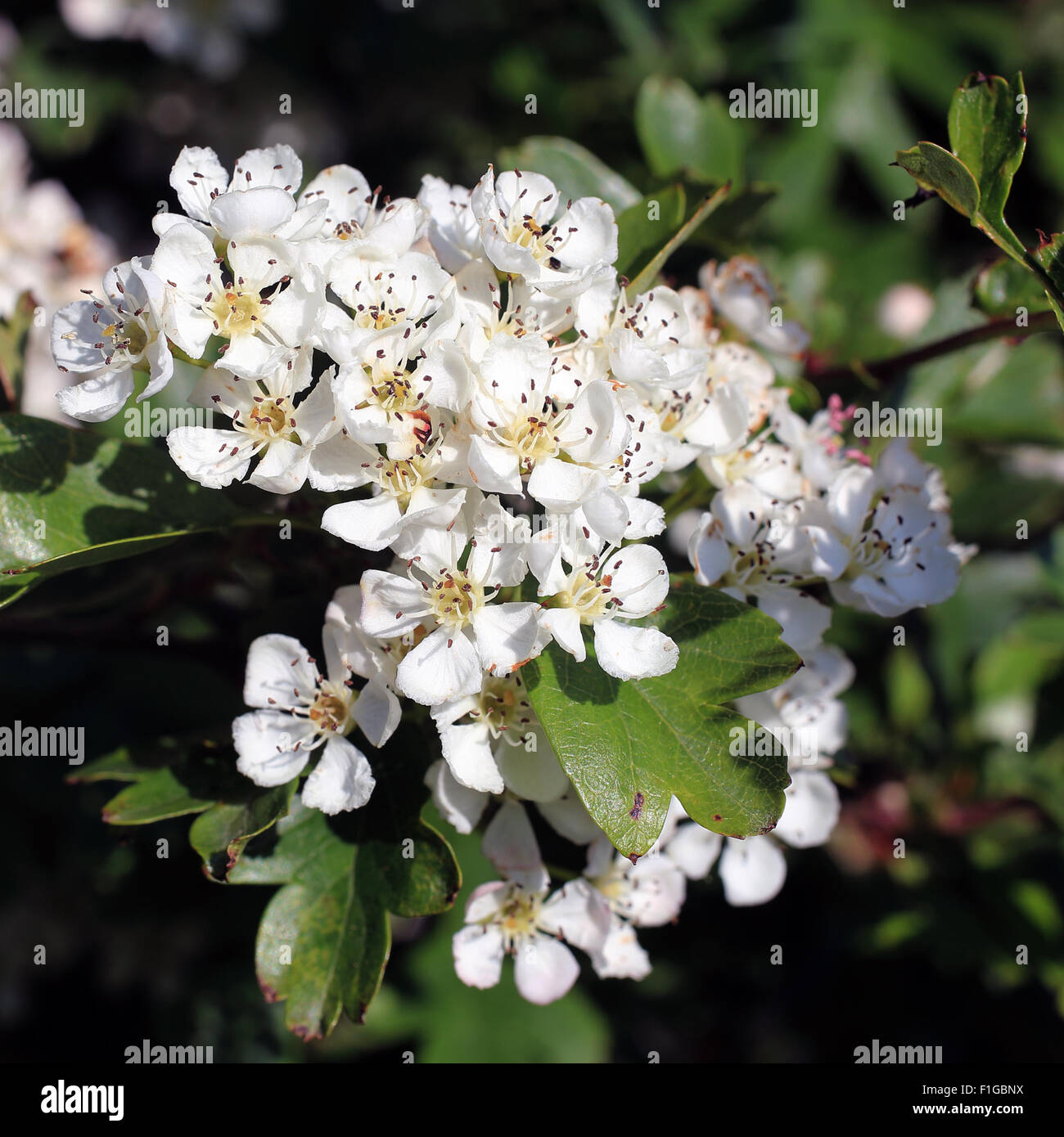 """""""May Blossom"""" Flowers Of The Common Hawthorn, Or May Tree"""