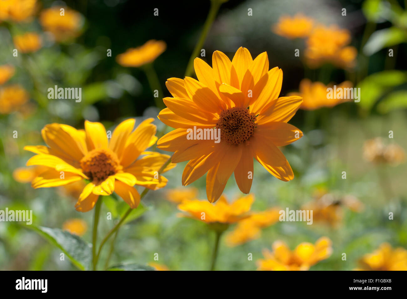 Yellow daisy flowers in beautiful August sunlight in a farmers' garden. - Stock Image