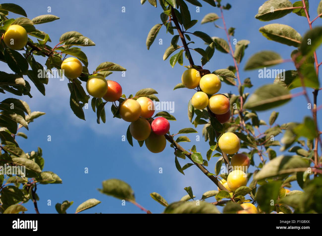 Reneclaudenbaum mit halbreifen Früchten vor strahlend blauem Himmel - Stock Image