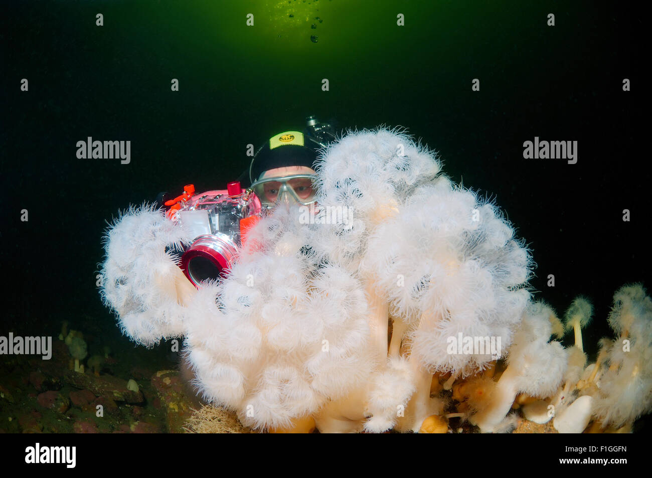 Oct. 15, 2014 - White Sea, Arctic, Russia - Underwater photographr and plumose anemone or frilled anemone, (Metridium Stock Photo