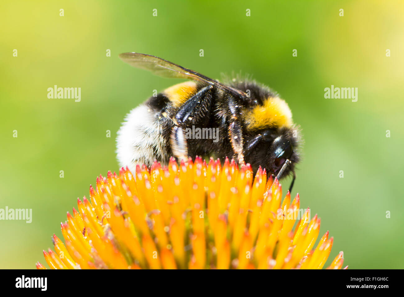 Macro of a bumblebee collecting nectar on Echinacea flower - Stock Image