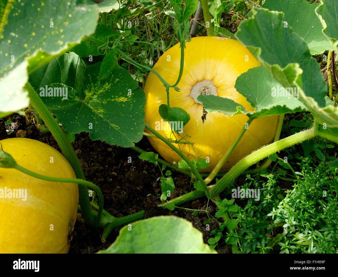 Pumpkins growing, UK - Stock Image