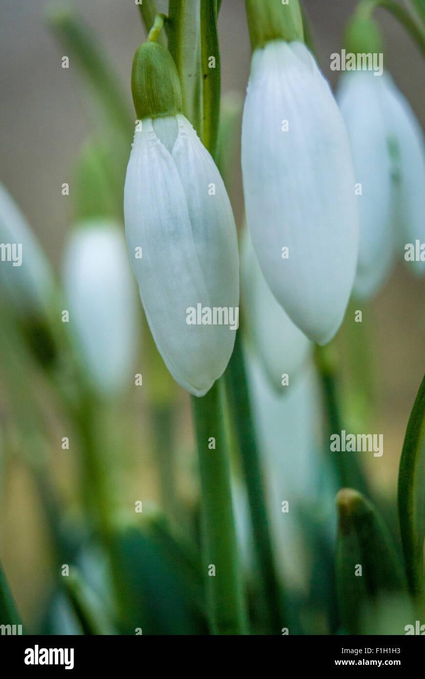 Snowdrops - close up - Stock Image