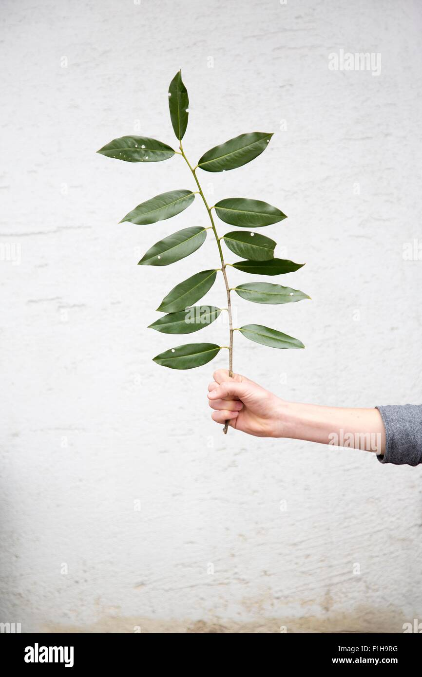 Person holding leafed twig - Stock Image