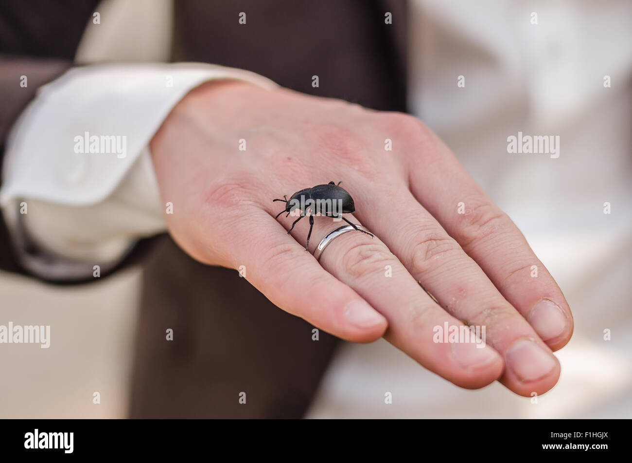 wedding ring on the hand of the groom, on the hand of a black beetle ...