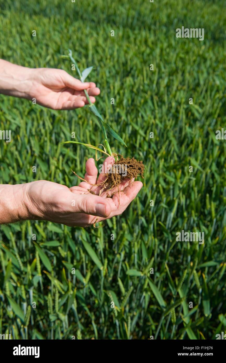 wheat plant roots stock photos wheat plant roots stock images alamy
