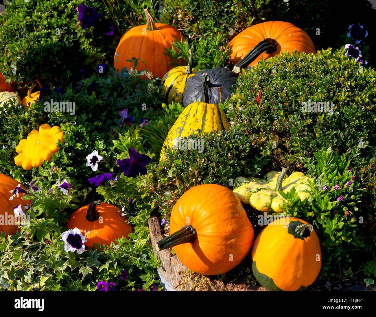 Pumpkins and flowers garden scene - Stock Image
