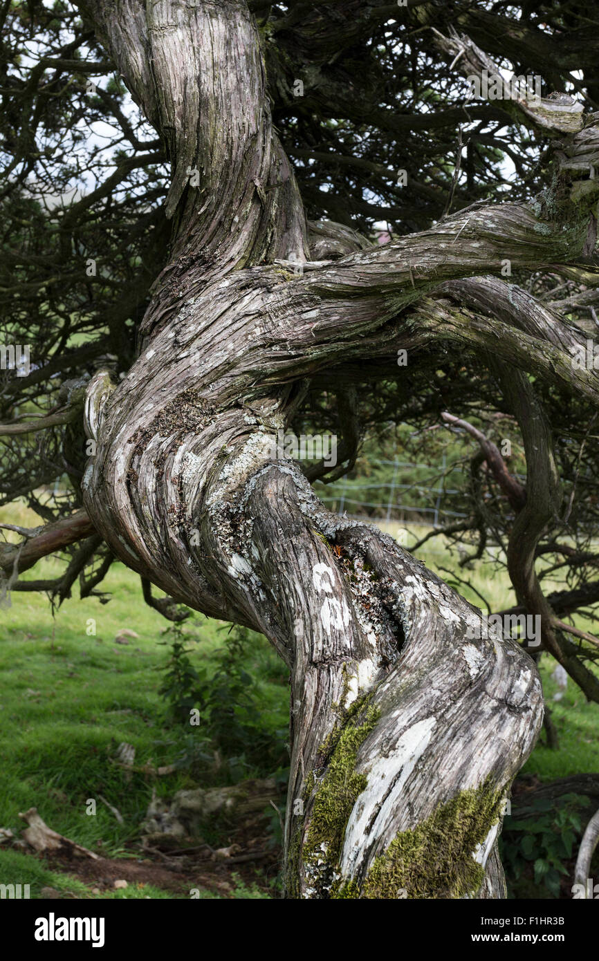 Twisted Juniper Tree Trunk Juniperus communis North Pennines, Upper Teesdale, County Durham, UK - Stock Image