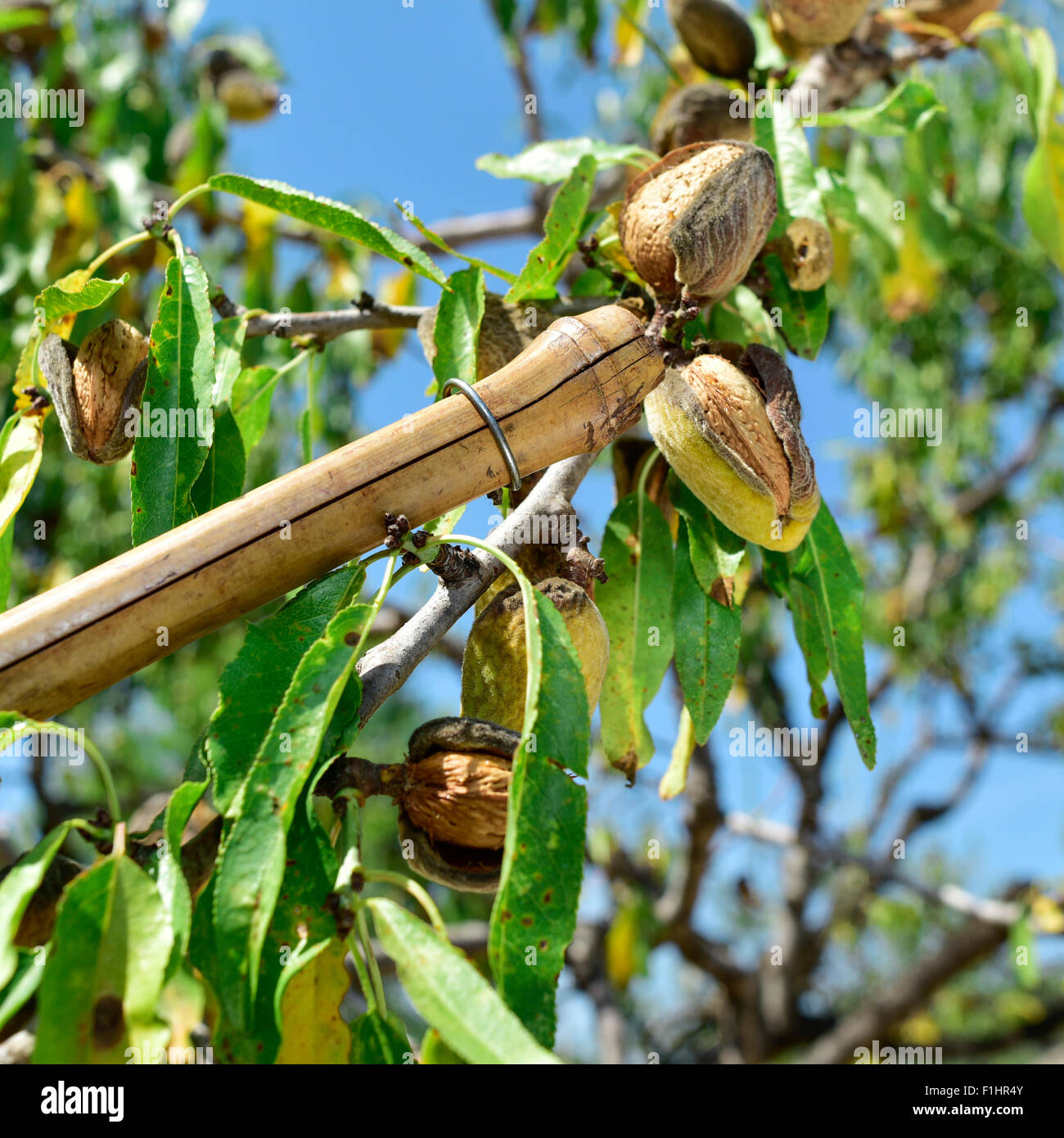 closeup of a stick hitting the branches of an almond tree during the harvesting - Stock Image