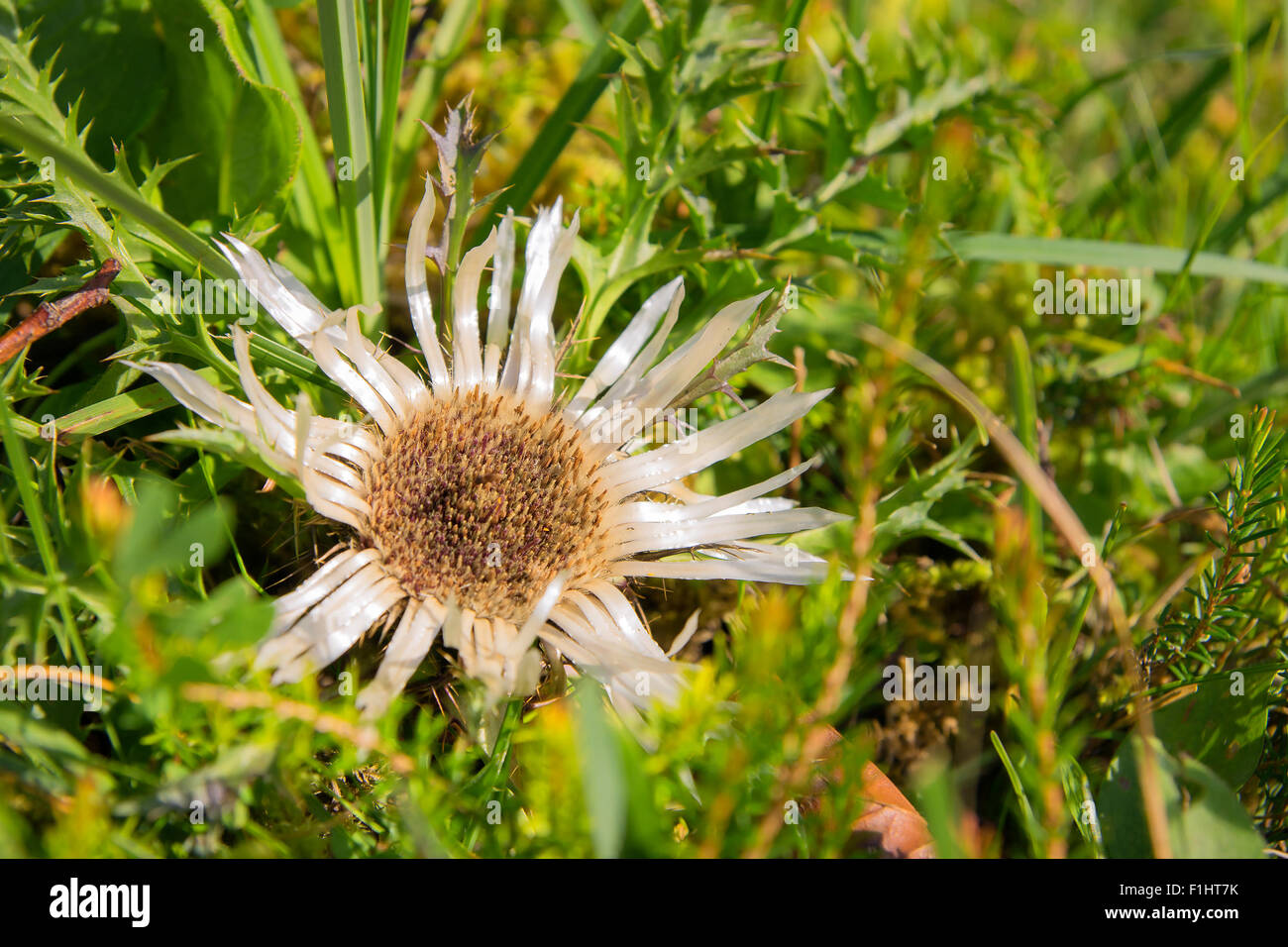 Image of a silver thistle in green gras - Stock Image