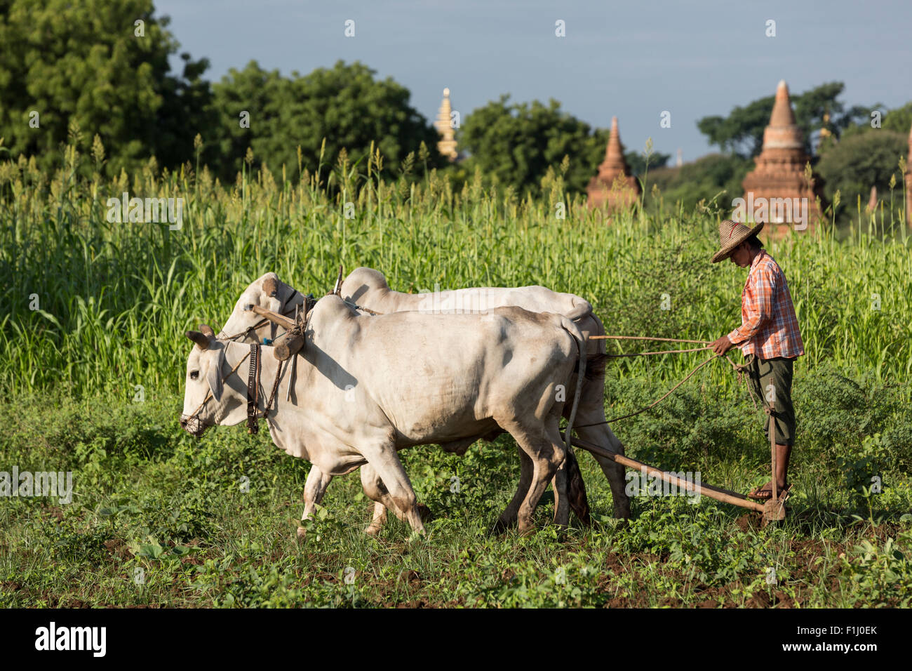 Farmer plows field in front of Bagan stupas with ox-drawn plow. Taken near Raya Nga Zu pagoda off the Nyaung U Road - Stock Image