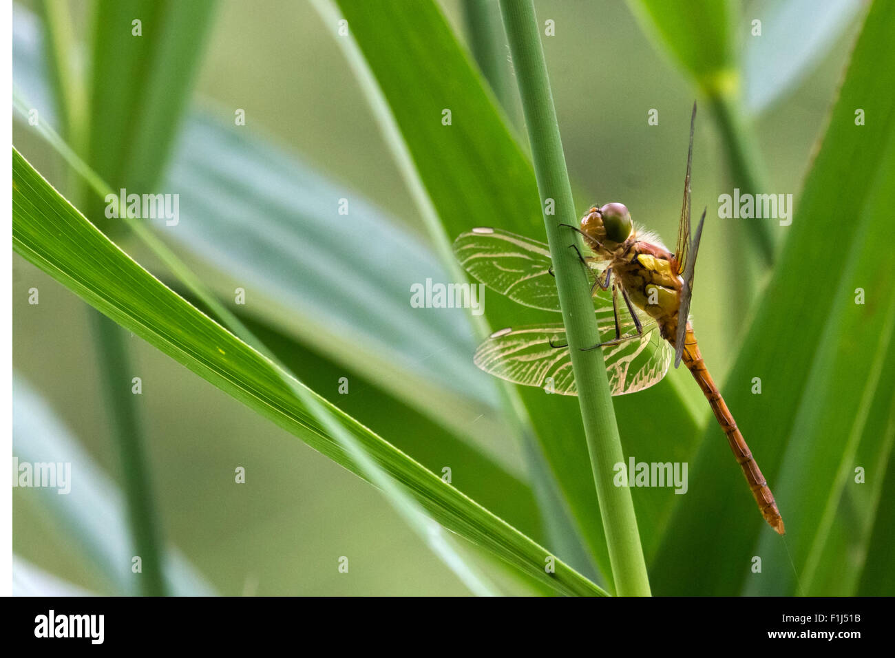 Common Darter reacting to perceived threat - Stock Image