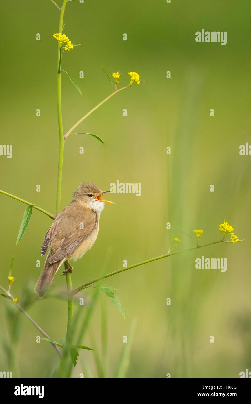 Marsh warbler (Acrocephalus palustris) bird singing in a field with yellow flowers Stock Photo