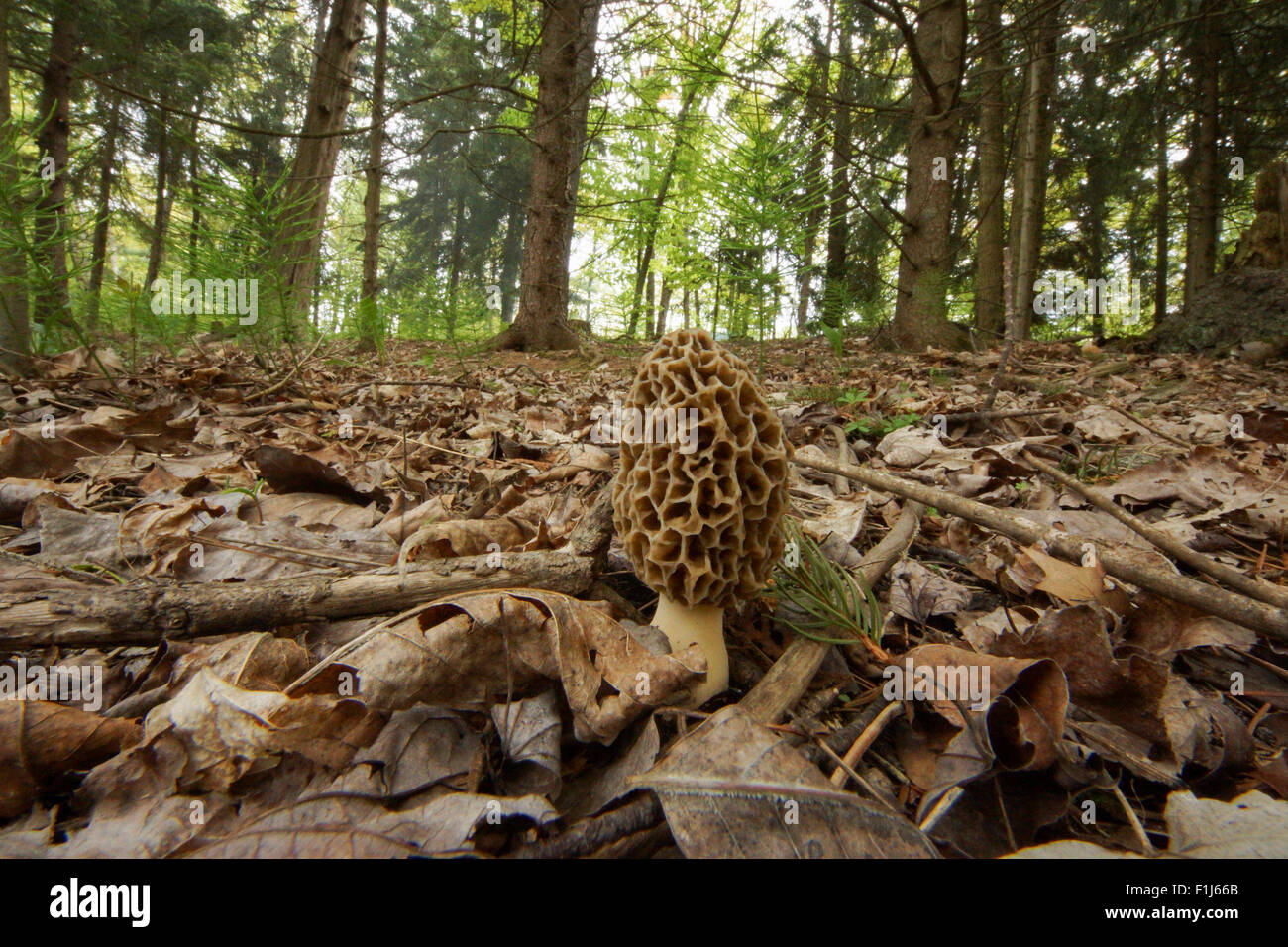 The highly edible Common Morel (Morchella esculenta) mushroom is sought after for cooking.  This particular fungus - Stock Image
